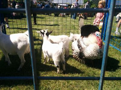 Goats and turkey