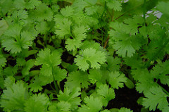 Coriander in close-up